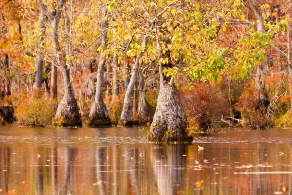 Nyssa aquatica / Wasser-Tupelobaum
