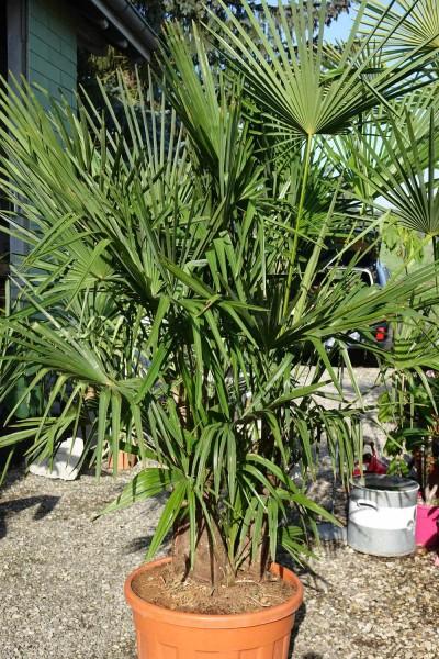 3-stämmige Trachycarpus fortunei / Tessinerpalme Pflanze