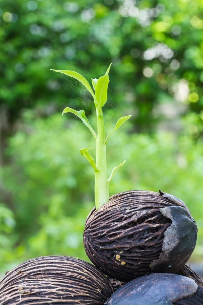 Cerbera odollam / Pong Pong Tree / See Mango