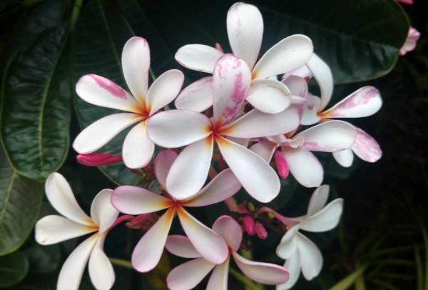 Plumeria Singapore Pink / Frangipani