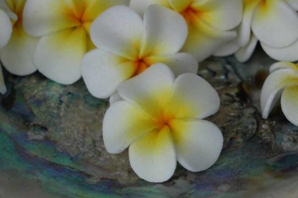 Schwimmblüte Plumeria weiss-gelb mini