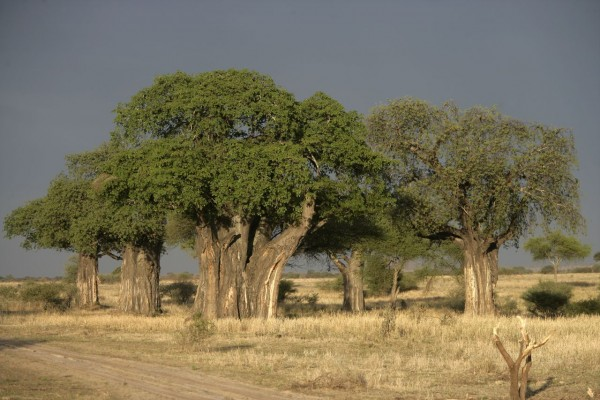 Adansonia digitata / Affenbrotbaum