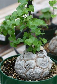 Dioscorea elephantipes / Schildkrötenpflanze