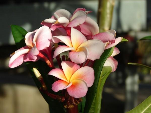 Plumeria Divine / Frangipani