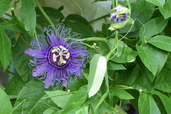 Passiflora incarnata / Passionsblume