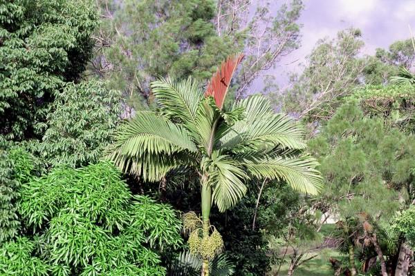 Chambeyronia macrocarpa / Rotblattpalme