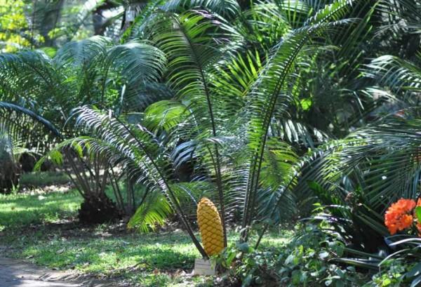 Encephalartos villosus / Palmfarn