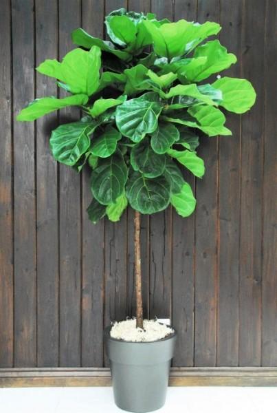 Ficus lyrata / Geigenbaum