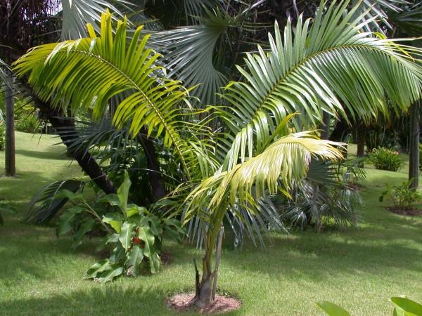 Dypsis mananjarensis / Mealy Bug Palm