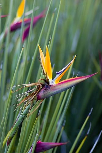 Strelitzia juncea / Blattlose Paradiesvogelblume