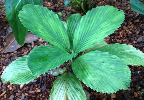 Chamaedorea tuerckheimii veracruz / Potato Chip Palm