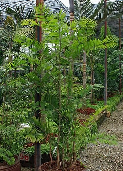 Calamus siamensis / Thai Rattanpalme