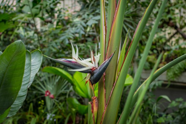 Strelitzia nicolai / Weisse Paradiesvogelblume