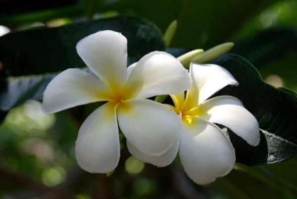 Plumeria Snow White / Frangipani