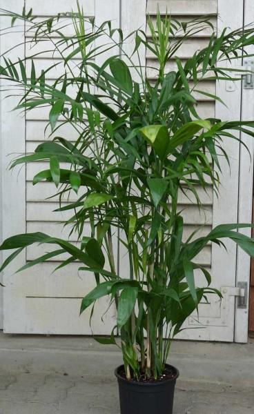 Chamaedorea seifrizii / Bambuspalme