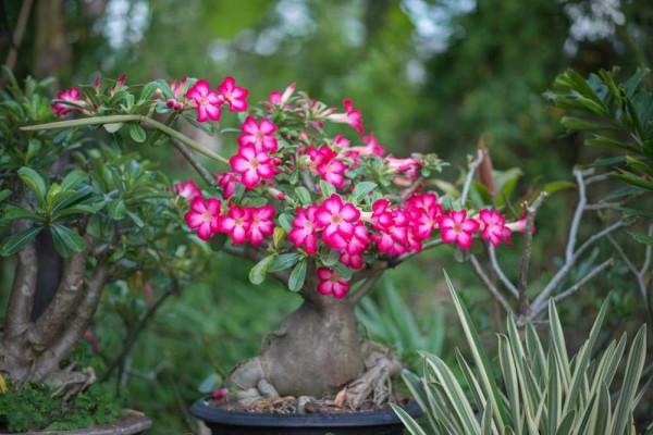 Adenium obesum desert rose / Wüstenrose