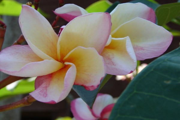 Plumeria Vera Cruz Rose / Frangipani