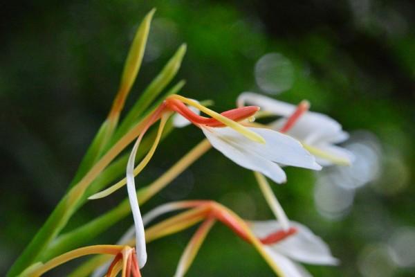 Hedychium spicatum / Schmetterlingsingwer