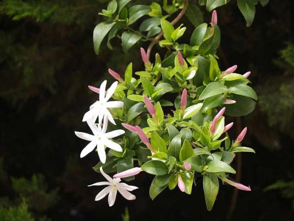 Jasminum multipartitum / Afrikanischer Jasmin / White star