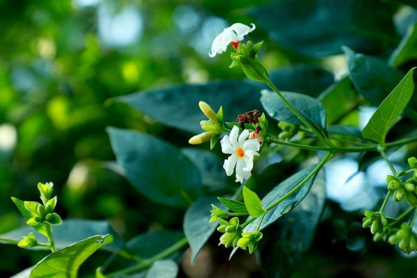 Nyctanthes arbor-tristis / Trauerbaum / Parijat / Nachtjasmin / Koralljasmin
