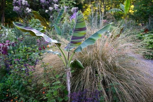Musa sikkimensis / Darjeeling-Banane