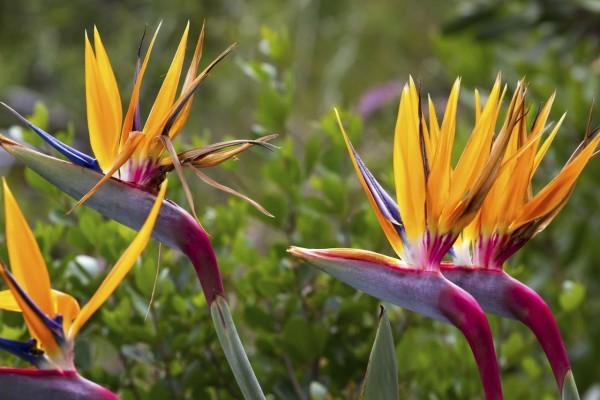 Strelitzia reginae / Paradiesvogelblume