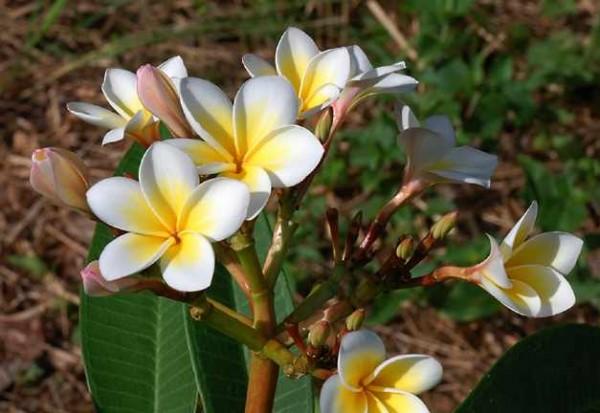 Plumeria Lueang Sakon / Frangipani