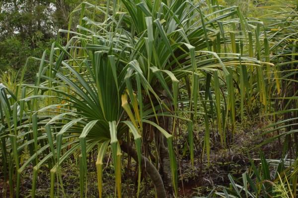 Pandanus furcatus / Himalaya-Schraubenbaum