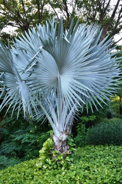 Bismarckia nobilis silver / Silberne Bismarck-Palme