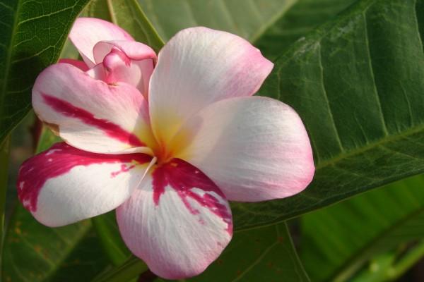 Plumeria Rainbow Cup / Frangipani