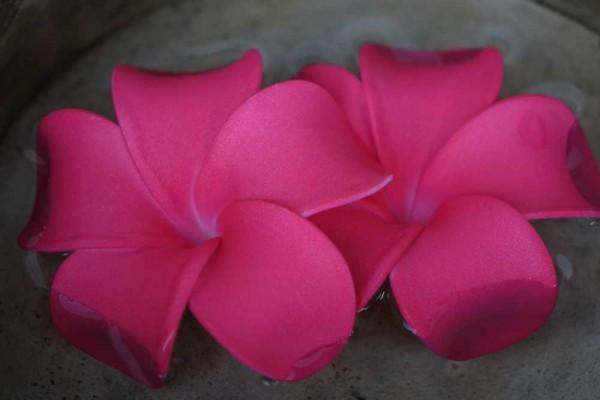 Schwimmblüte Plumeria Dean intensiv pink Nr. 3109