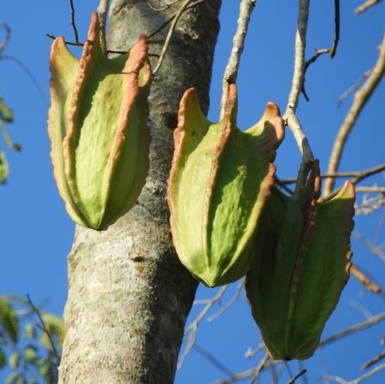 Jacaratia mexicana maroon / Mexikanische Bergpapaya