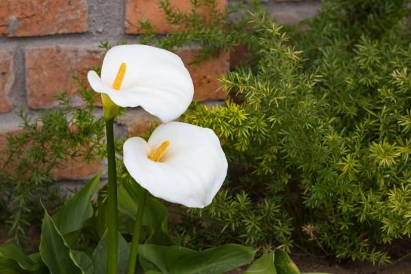 Zantedeschia aethiopica / Calla Lily