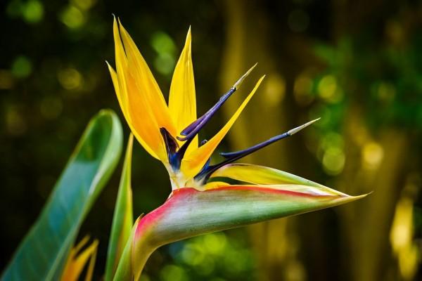 Strelitzia reginae Mandelas Gold / Mandelas Paradiesvogelblume