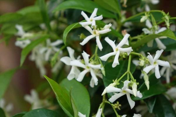 Trachelospermum jasminoides / Sternjasmin