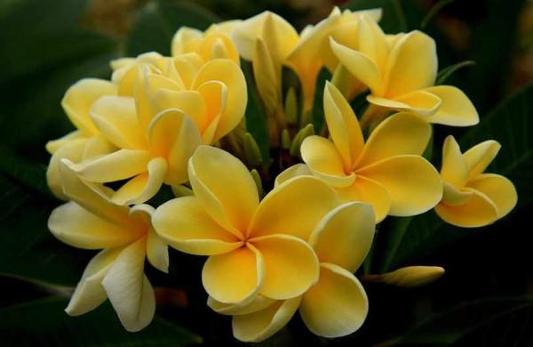 Plumeria Mayan Gold / Frangipani