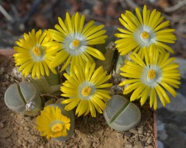 Lithops aucampiae / Lebender Stein Pflanze