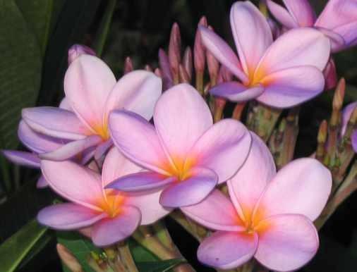 Plumeria Violet Queen / Frangipani