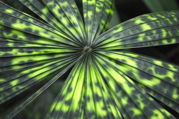Licuala mattanensis / Mapu-Palme