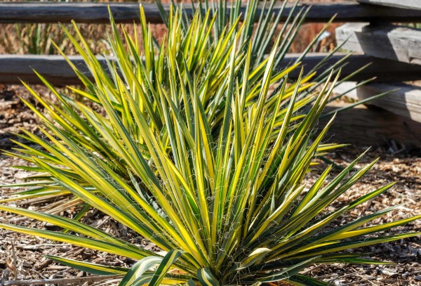 Yucca filamentosa Color Guard / Adam's Needles Pflanze