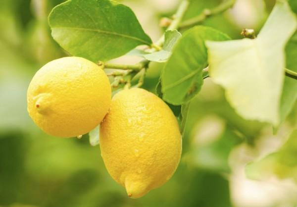 Citrus limon / Zitrone Pflanze