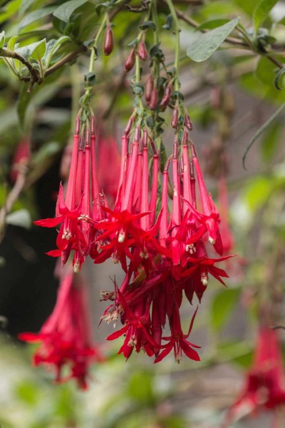 Fuchsia boliviana red