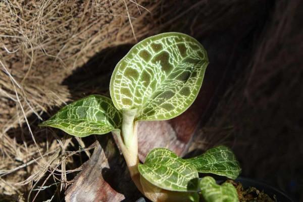 Macodes petola / Juwelorchidee