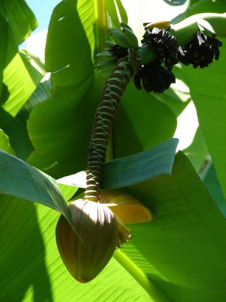 Musa basjoo / Japanische Faserbanane Pflanze