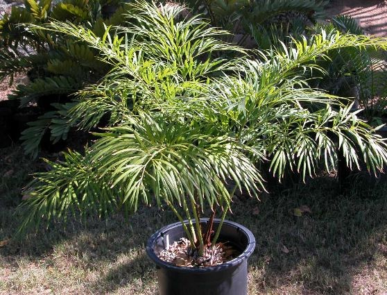 Cycas debaoensis / Palmfarn