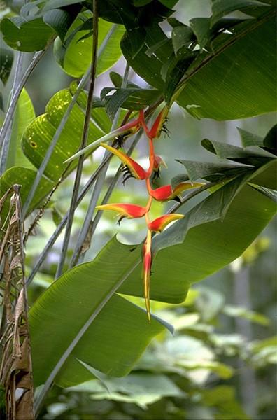 Heliconia platystachys