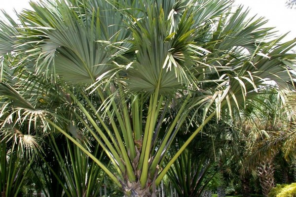 Corypha lecomtei