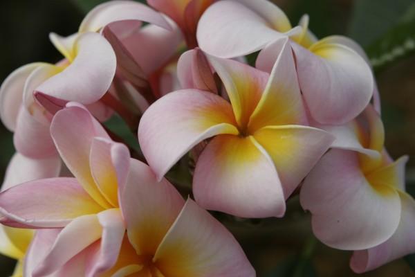 Plumeria Maui Beauty / Frangipani