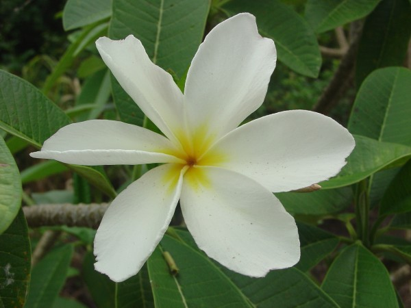 Plumeria Dwarf Deciduous White / Frangipani