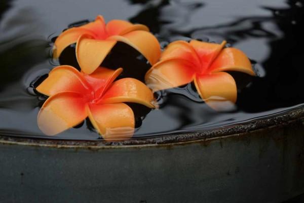 Schwimmblüte Plumeria orange-rot Nr. 10